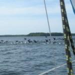A my, z kolei - ścigamy kormorany...