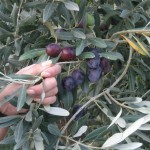Oliwny raj w oliwnym gaju. Dorosłe oliwki są jak śliwki - koloru śliwkowego.